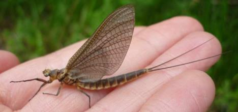 Mayfly up close