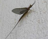 Mayfly on the SSEA Office Wall - June 2010